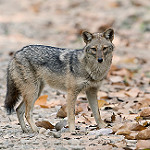 coyote wolf photo